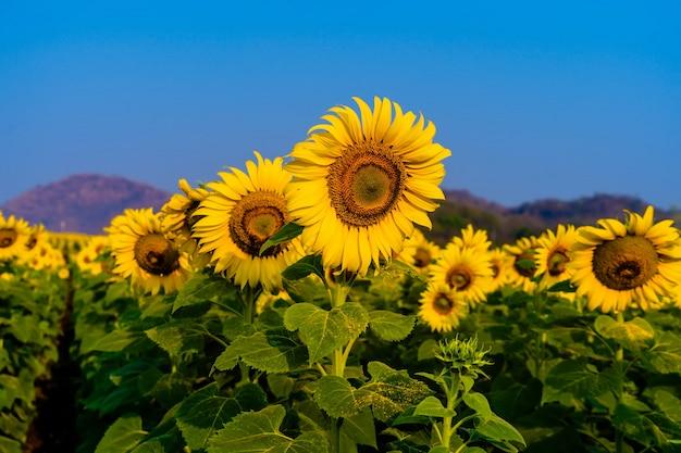 Sonnenblumen, die im bauernhof mit blauem himmel blühen,