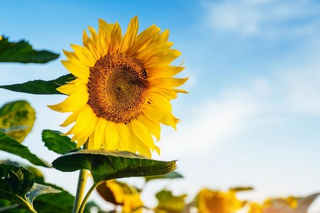 Sonnenblumen durch die sonnenstrahlen.