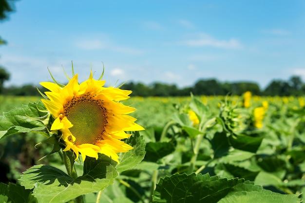 Sonnenblumen färben naturgelbsommersonnenschönheit des hintergrundgelbs gelbe