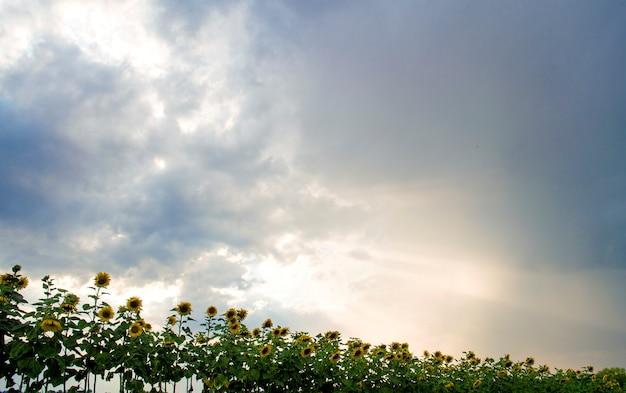 Sonnenblumen gegen den bewölkten himmel