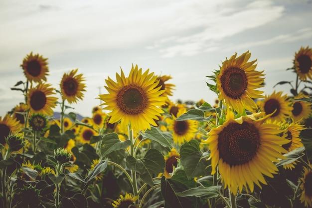 Sonnenblumen in einem feld