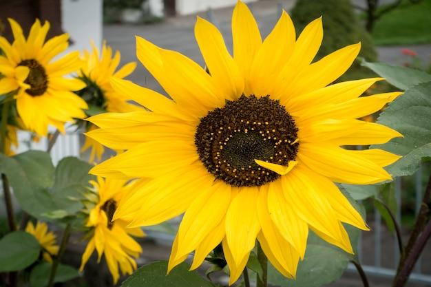 Sonnenblumen in einem garten in sachseln obwalden in der schweiz