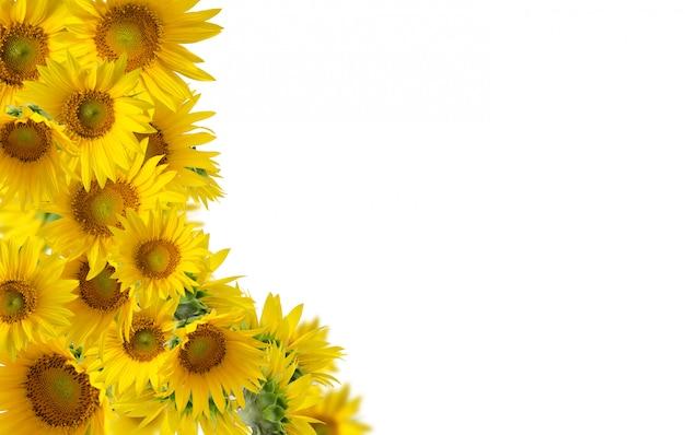 Sonnenblumen lokalisiert auf weißem hintergrund. blumenrand.