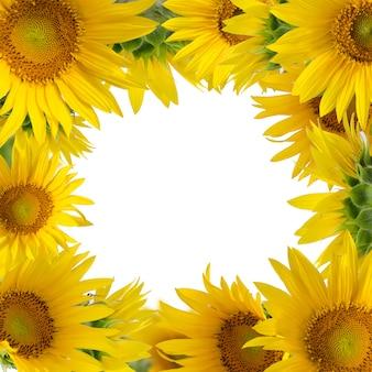 Sonnenblumen lokalisiert auf weißem hintergrund. sommerzeit blumengrenze.