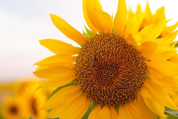 Sonnenblumen-nahaufnahme bei sonnenuntergang, schöner weichzeichner der natürlichen tapete