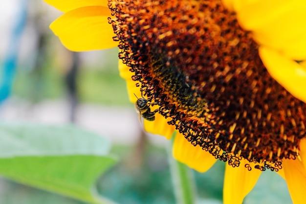 Sonnenblumen und fliegende biene hautnah. sommer, pflanzenbestäubung, honigproduktion