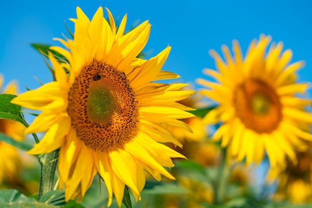 Sonnenblumen wachsen auf dem gebiet im sommer des hintergrundes des blauen himmels. nahansicht