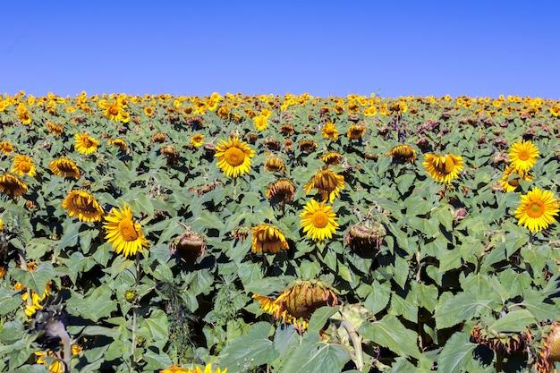 Sonnenblumenanbau - helianthus - in brasilien