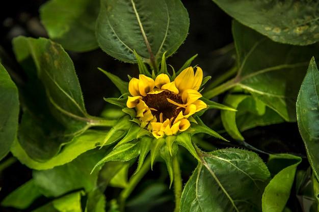 Sonnenblumenbetriebsnatur klar