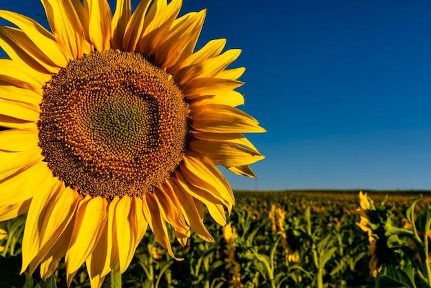 Sonnenblumenblätter mit blick auf die sonne an einem schönen tag auf den feldern von castilla la mancha spanien