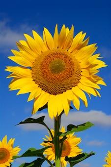 Sonnenblumenblüte (helianthus annuus), eine pflanze zur gewinnung von biokraftstoffen