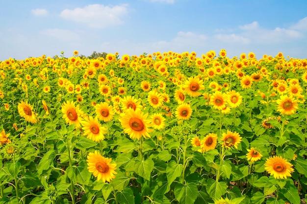 Sonnenblumenblüte und hintergrund des blauen himmels des sommers