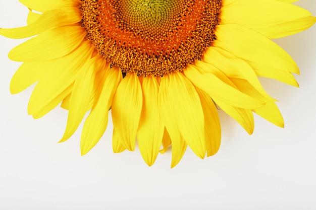 Sonnenblumenblume auf weiß