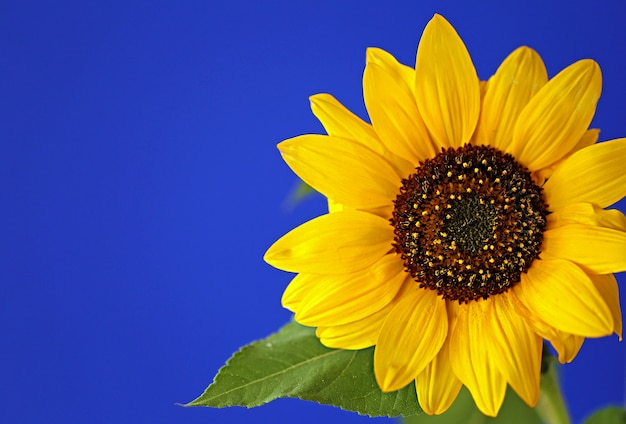 Sonnenblumenblume. gelbe blume sonnenblume auf einer blauen wand