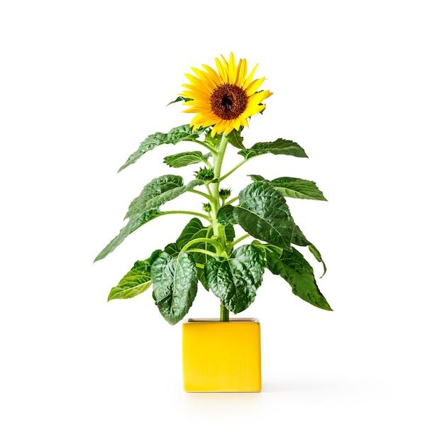 Sonnenblumenblume in gelber vase. helianthus mehrjährige pflanze. einzelner gegenstand lokalisiert auf dem beschneidungspfad des weißen hintergrundes eingeschlossen. sommergartenblumen
