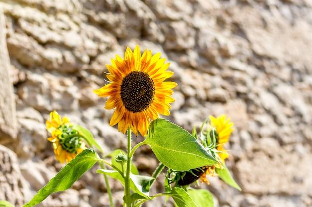 Sonnenblumenblumen auf dem hintergrund einer steinmauer bei sonnigem wetter