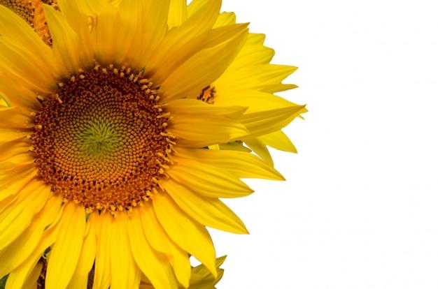 Sonnenblumenblumenrand mit dem exemplarplatz, festlich.