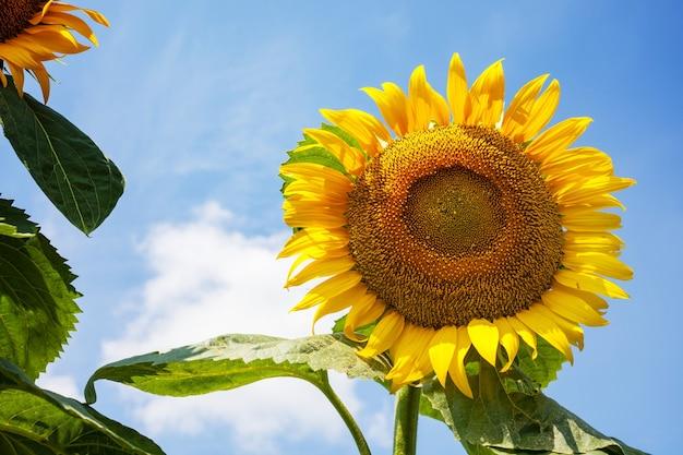 Sonnenblumenfeld am sommertag