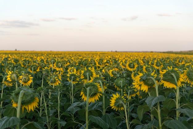 Sonnenblumenfeld an der sonnenuntergangoberfläche. landwirtschaft.