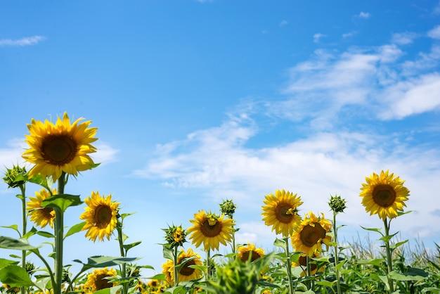 Sonnenblumenfeld auf hintergrund des bewölkten himmels. sonnenblumenfeld-szene.