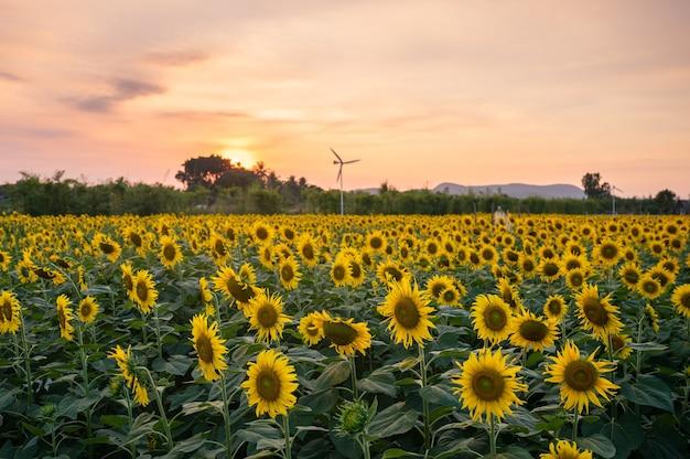 Sonnenblumenfeld blüht in der plantage am abend