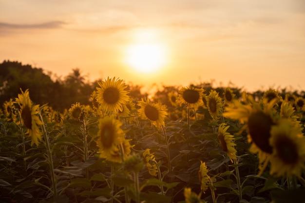 Sonnenblumenfeld, das in der plantage bei sonnenuntergang wächst