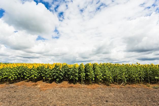 Sonnenblumenfeld experimentell. felder mit einer unendlichen sonnenblume.