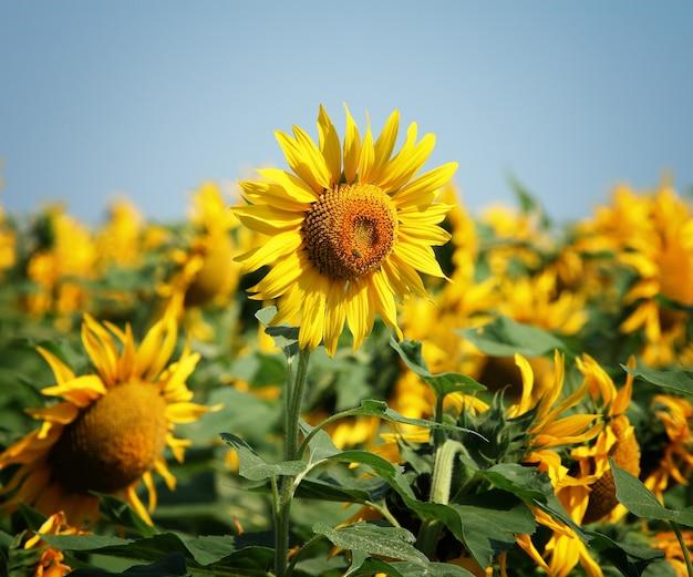 Sonnenblumenfeld gegen den blauen himmel, kopierraum