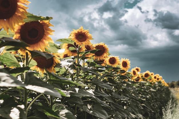 Sonnenblumenfeld gegen einen bewölkten blauen himmel. landwirtschaft. schöne sommerlandschaft