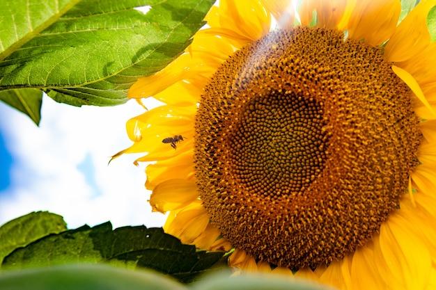 Sonnenblumenfeld gegen einen bewölkten blauen himmel