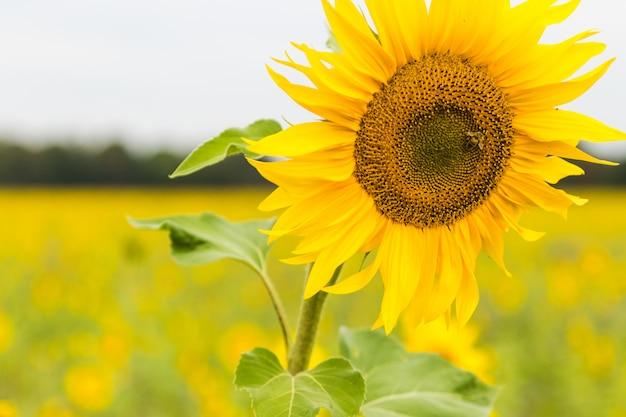 Sonnenblumenfeld gepflanzt, um für erdölförderung zu säen.