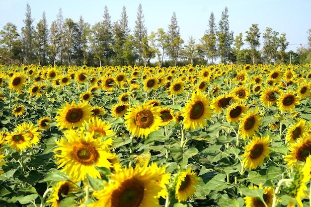 Sonnenblumenfeld im garten