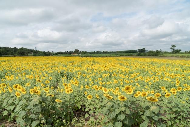 Sonnenblumenfeld im sommer.