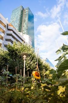 Sonnenblumenfeld in den wannen nahe bei modernen hohen steigenden glaswolkenkratzern und hintergrund des blauen himmels im bezirk von la defense in paris