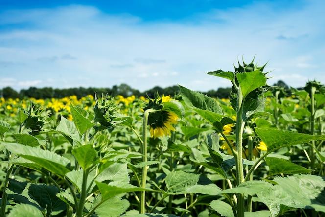 sonnenblumenfeld landschaft. sonnenblumen schließen unter regnerischen wolken
