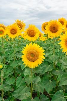 Sonnenblumenfeld landschaft