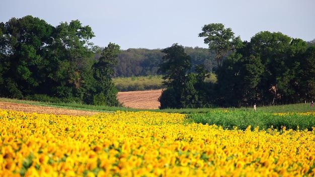 Sonnenblumenfeld mit bäumen, feld und wald auf dem hintergrund in moldawien