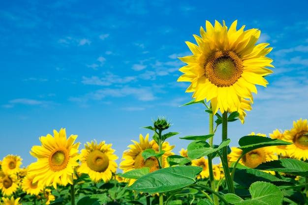 Sonnenblumenfeld mit bewölktem blauem himmel