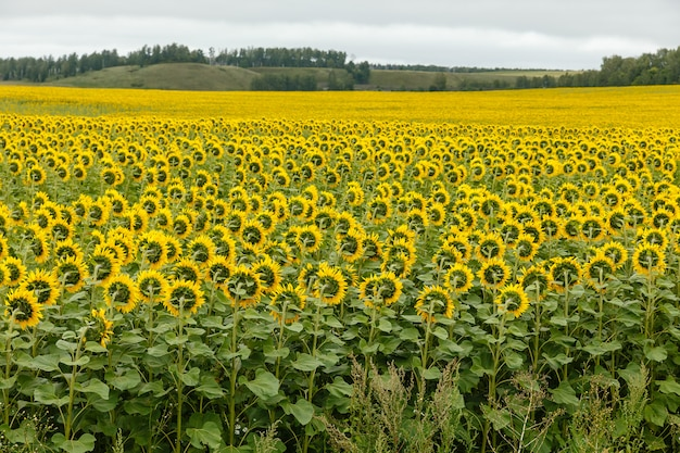 Sonnenblumenfeld mit bewölktem himmel