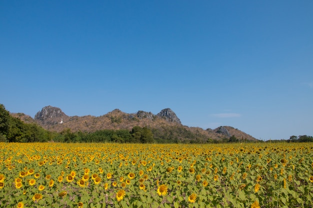 Sonnenblumenfeld mit blauem himmel.