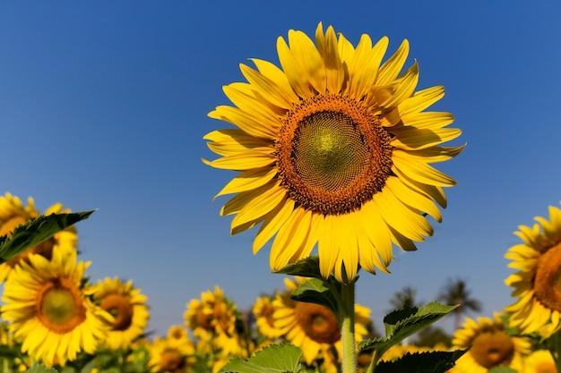 Sonnenblumenfeld mit dem blauen himmelhintergrund