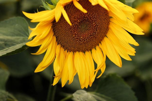 Sonnenblumenfeld. sonnenblume natürlichen hintergrund. sonnenblume blüht. nahaufnahme der sonnenblume.