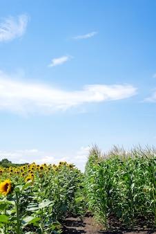 Sonnenblumenfeld und maisfeld auf hintergrund des bewölkten himmels.