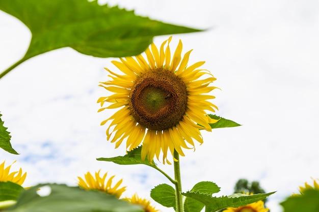 Sonnenblumenfeld und sonnenblume
