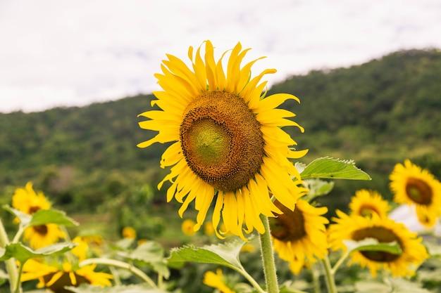 Sonnenblumenfeld und sonnenblumenhintergrund Premium Fotos