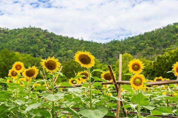 Sonnenblumenfeld und sonnenblumenhintergrund
