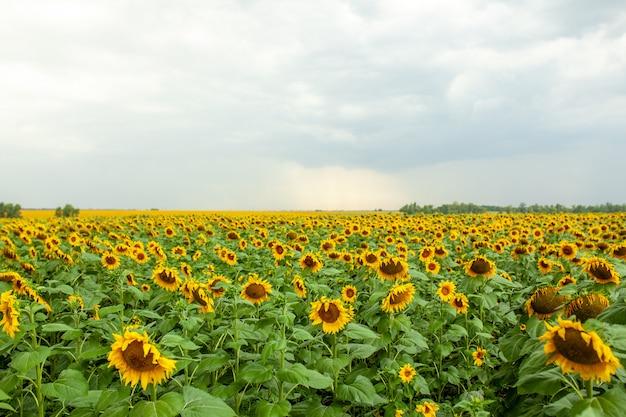 Sonnenblumenfeldlandschaftsnahaufnahme am sonnigen tag des sommers