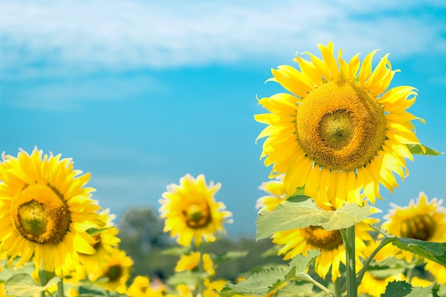 Sonnenblumengarten am sonnigen tag im naturhintergrund