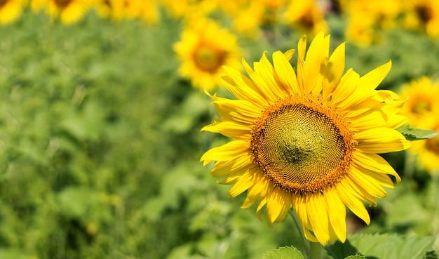 Sonnenblumengarten auf naturhintergrund