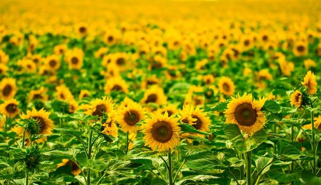 Sonnenblumengarten. sonnenblumen haben reichlich gesundheitliche vorteile. sonnenblumenöl verbessert die gesundheit der haut und fördert die zellregeneration